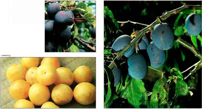 Plum Cultivars South Africa Wickson