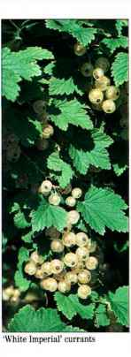 Imperial White Currant