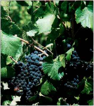 Best Dark Table Grapes Northwest