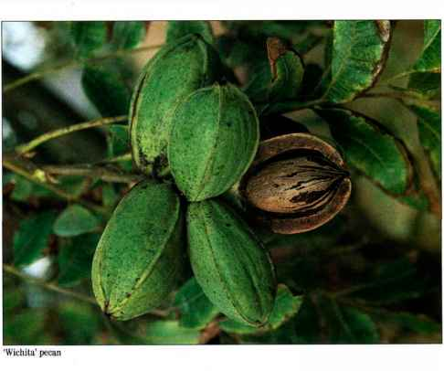 Texas Pecan Production
