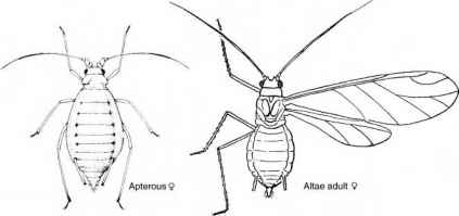 Diagram Green Peach Aphid