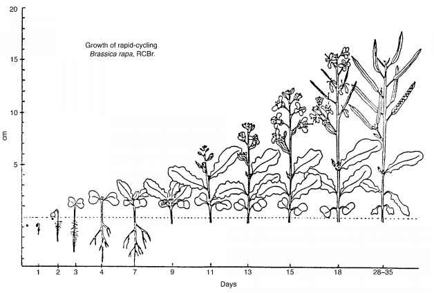 rapid cycling brassicas Premise of research the wisconsin fast plants lines of brassica rapa (rcbr) have been a useful model system for plant ecology, evolution, physiology, and development however, inheritance of flowering time in the b rapa fast plants has not been exploredmethodology i used quantitative genetics to explore additive, dominant, and epistatic genetic components of between-line variance in.