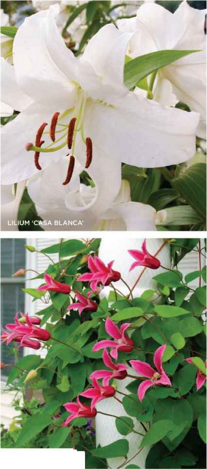 Mandevilla Containers Combinations