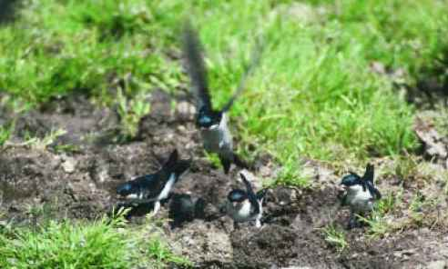 House Martins Nest