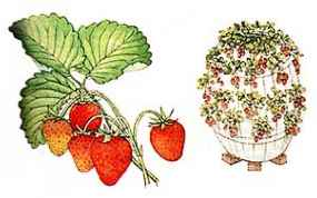 Strawberry Barrel