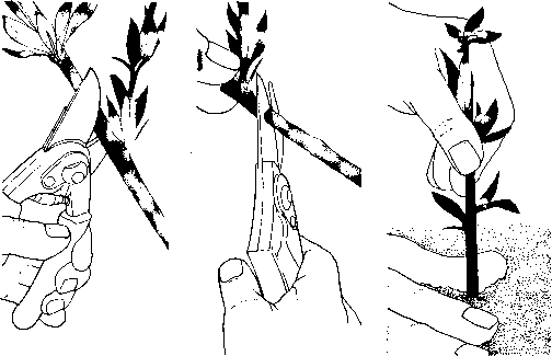 making a stem cutting - gardening guide