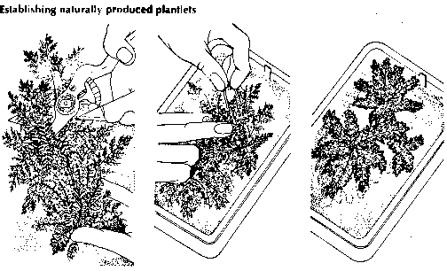 Establishment Plantlets