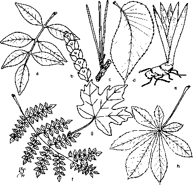 Types Of Leaves A Pinnately Compound B Scale C Needle D Pin Nately Simple E Parallel Veined Twice G Palmately