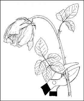 Cultivating Roses Gardening Guide Florence Grovida Gardening