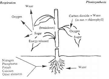 Leaf With Starch Through Photosynthesis