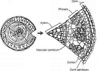 vascular plant diagram xylem phloem stem  vascular  free