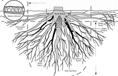 Peripheral Root System