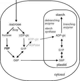 Starch Synthesis Pathway