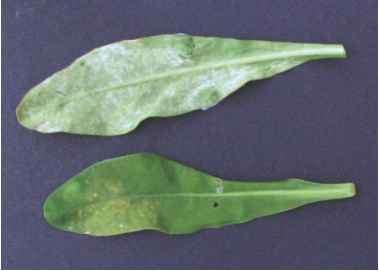 Potato Damaged Fungicide
