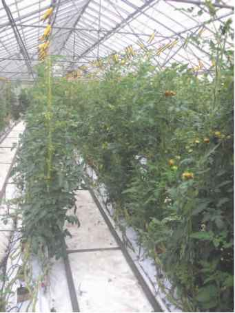 Tomato Nutrient Film
