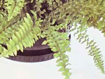 Outdoor Hanging Ferns