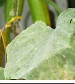 Grey Mold Cucumber