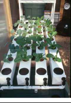 Growing Broccoli Buckets