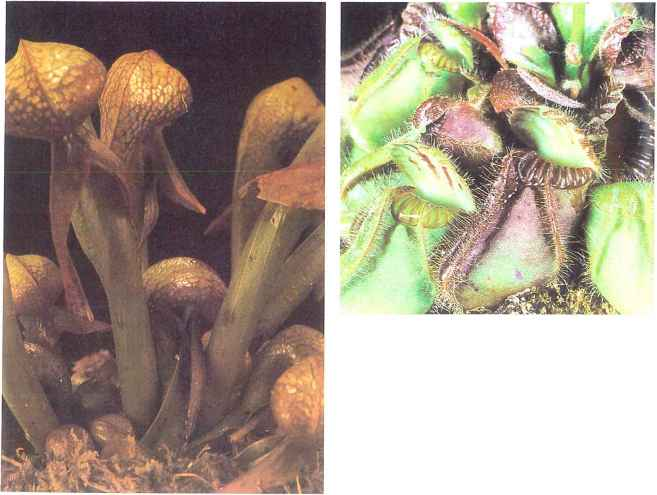 Nepenthes Fang