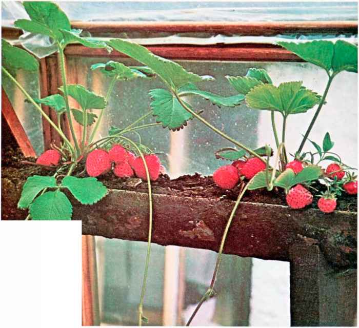Growing Strawberries Plastic Pipe