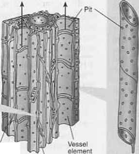 Xylem Elements Onion Parenchyma Cells