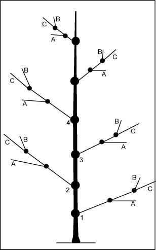 Diagram Pruning Tree Limbs