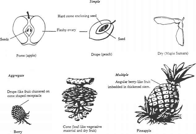 Types Dispersal Fruits