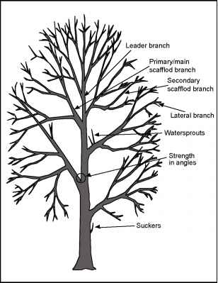 mature trees   pruning landscape trees   florence grovida gardeningselective cutting diagram