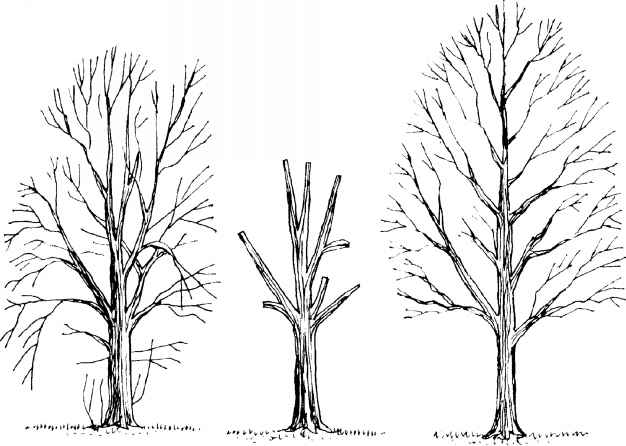 Pruning Trees Crown Thinning