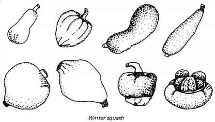 Yellow Crookneck Squash Drawing