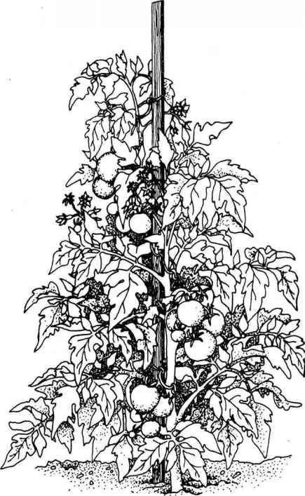 coloring pages of tomato plants - photo#7